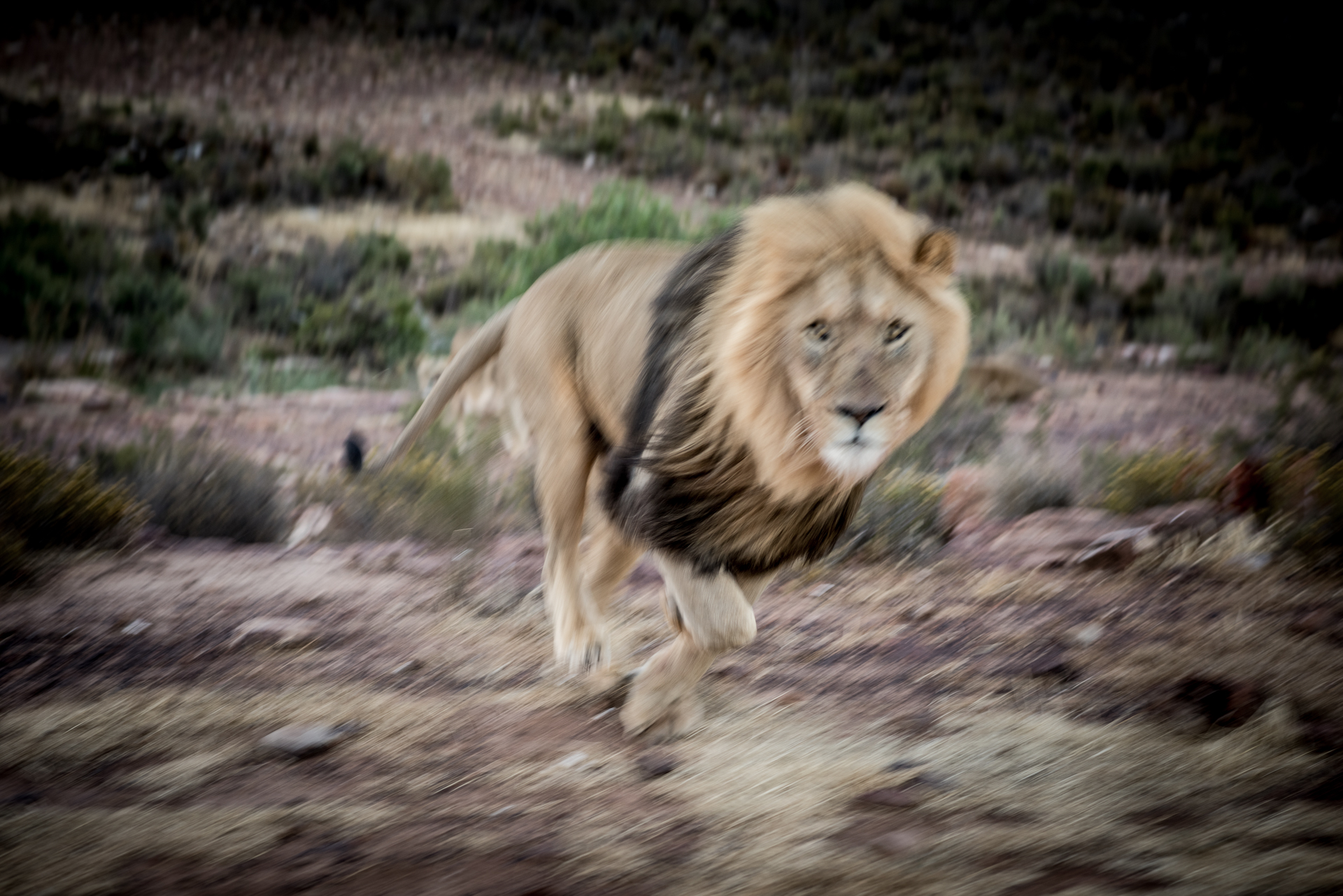 Male Lion in Pursuit