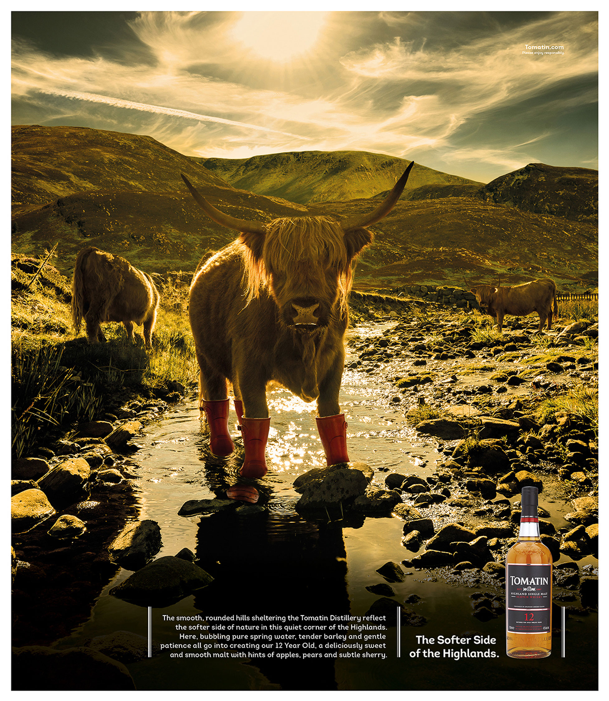 Highland cow wearing wellington boots in river